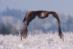 在冻雪的老鹰 免版税库存照片