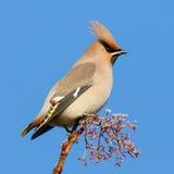 在结霜的枝杈的太平鸟 库存照片
