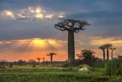 在猴面包树的大道,马达加斯加的日出 免版税库存照片