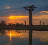 在猴面包树的胡同,马达加斯加的日落 免版税库存照片