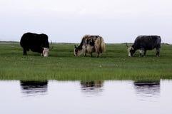 在巴音布鲁克草原的三头牦牛 免版税库存照片