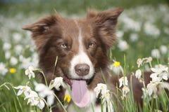 在黄水仙领域的博德牧羊犬 免版税库存图片