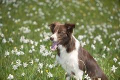 在黄水仙领域的博德牧羊犬 免版税库存照片