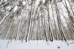 在暴风雪以后的美丽的具球果森林 免版税图库摄影