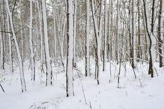 在暴风雪以后的美丽的具球果森林 免版税库存照片