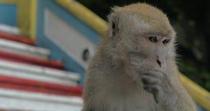 在黑风洞,被看见的马来西亚特写镜头猴子 股票录像