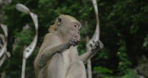 在黑风洞,被看见的马来西亚猴子 股票视频