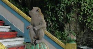 在黑风洞,马来西亚人给猴子食物,并且她坐栏杆和吃 股票视频