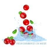 在水飞溅的新鲜的成熟蔓越桔 库存图片