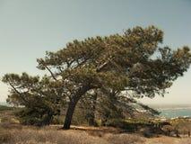 在洛马角的树 图库摄影
