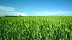 在年轻麦子的绿色领域的云彩 股票录像