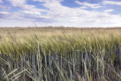 在黑麦的底视图 库存图片