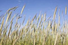 在黑麦的底视图 免版税库存照片