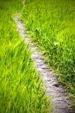 在黑麦领域的道路 免版税库存照片