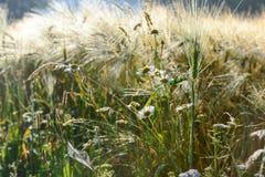 在黑麦领域的雏菊花 库存图片