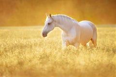 在黑麦,金黄日落的白马 库存图片