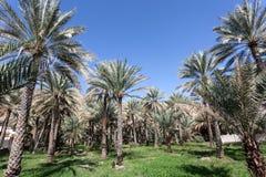 在绿洲,阿曼的棕榈树 免版税图库摄影