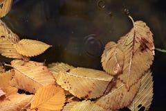 在水autmn的下落的黄色叶子 免版税库存图片