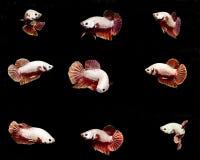 在黑backgro的联合的白色Betta鱼暹罗战斗的鱼 免版税库存照片