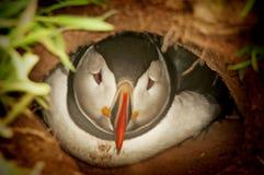 在洞穴fratercula arctica的幼小海鹦 库存照片