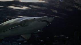 在4K的褴褛牙鲨鱼 股票视频