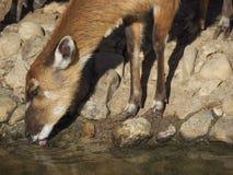 在水` s边缘的Sitatunga 库存图片