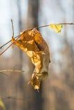 在a的一个小管被削减的偏僻的干燥黄色叶子 免版税库存图片