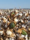 在A进展的棉花领域的棉花芽在收获之前 免版税库存照片