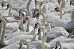 在Abbotsbury天鹅饲养地的饲养时间 免版税库存照片