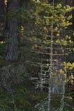 在Abernethy森林的苏格兰松树树苗在苏格兰 免版税库存图片