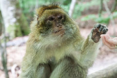 在Affenberg (猴子小山)的坐的猴子在萨利姆,德国 免版税库存照片