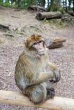 在Affenberg (猴子小山)的坐的猴子在萨利姆,德国 免版税图库摄影