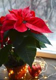 在aflower罐的红色一品红大戟属Pulcherrima 在窗口的圣诞节装饰与圣诞节伯利恒星或星  免版税图库摄影