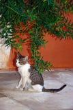 在Agia Triada,克利特的灰色虎斑猫 免版税库存照片