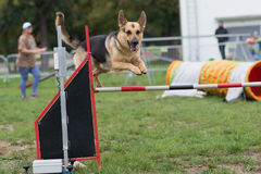 在agillity展示竞争的德国牧羊犬跳跃的酒吧障碍 免版税库存照片