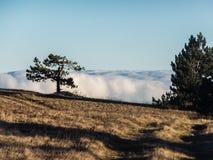 在Ai陪替氏高原边缘的孤独的杉木 免版税库存图片