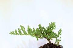 在Akadama土壤混合的年轻日本盆景树 图库摄影