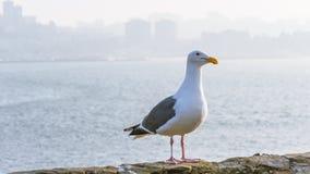 在Alcatraz的加利福尼亚鸥 库存照片