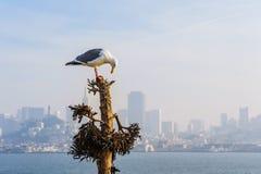 在Alcatraz的加利福尼亚鸥 免版税库存照片