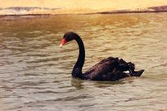 在AlKudra湖,阿拉伯联合酋长国的典雅的黑天鹅鸟游泳 免版税库存图片