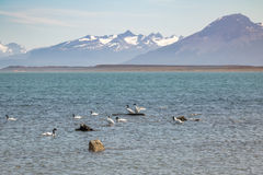 在Almirante Montt海湾的黑收缩的天鹅在巴塔哥尼亚-纳塔莱斯港, Magallanes地区,智利 库存照片
