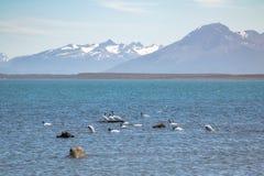 在Almirante Montt海湾的黑收缩的天鹅在巴塔哥尼亚-纳塔莱斯港, Magallanes地区,智利 免版税库存图片