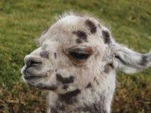 在altiplano玻利维亚南美洲的羊魄 免版税库存照片