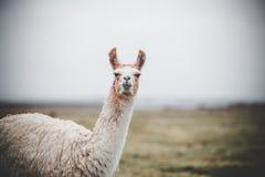 在Altiplano的一唯一骆马在玻利维亚 库存图片