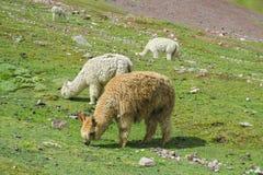 在altiplano的羊魄 免版税图库摄影