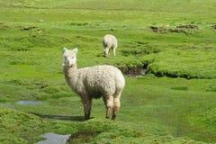 在altiplano的羊魄 库存照片