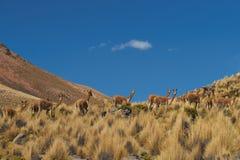 在Altiplano的骆马 图库摄影