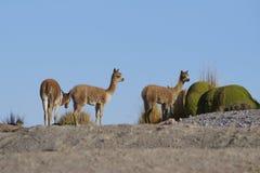 在Altiplano的婴孩骆马,智利 免版税库存照片