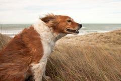 在ammophila滨草草的红色大牧羊犬类型狗在b 库存图片