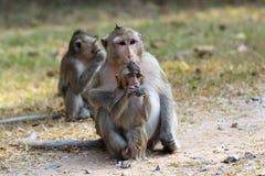 在Ankor Wat,柬埔寨附近的猴子 免版税库存图片